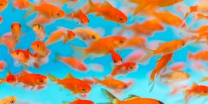 Many small goldfish swimming in aquarium